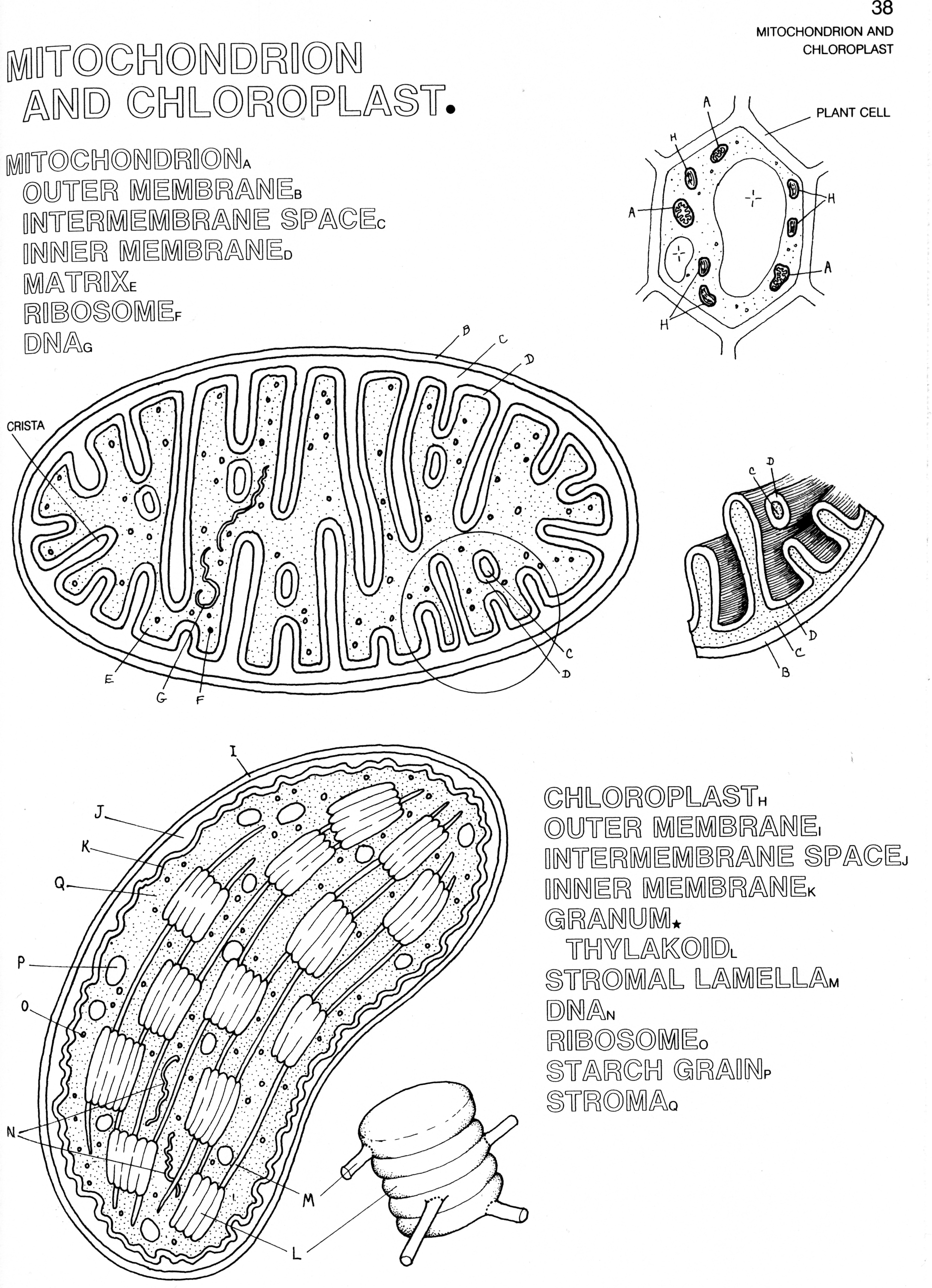 mitochondria coloring pages